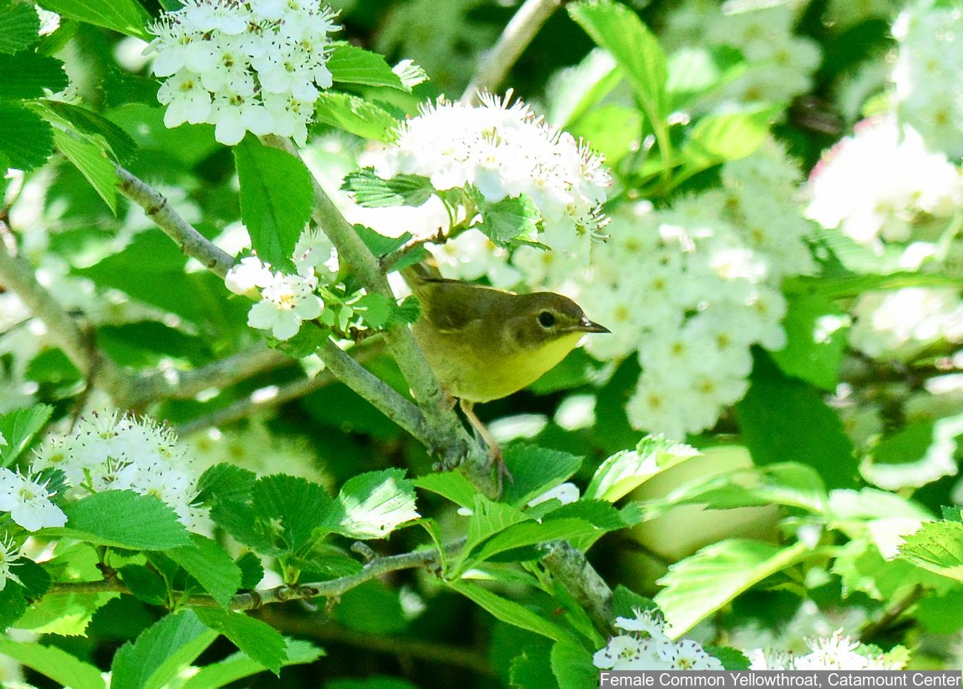 Common Yellowthroat Photo: Marc Faucher
