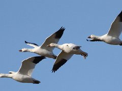 Snow geese in flight at Mud Creek Photo: Jeff Hullstrung
