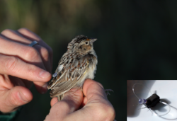 Grasshopper Sparrow with geolocater  Photo courtesy of Jason Hill