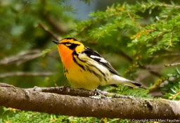 Blackburnian Warbler  Photo by Marc Faucher