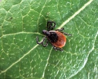 Tick on leaf.jpg