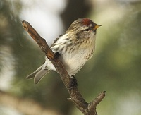 Common Redpoll  photo by Jim Morris