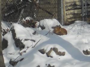Fox in Jan