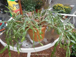 cactus_in_basket