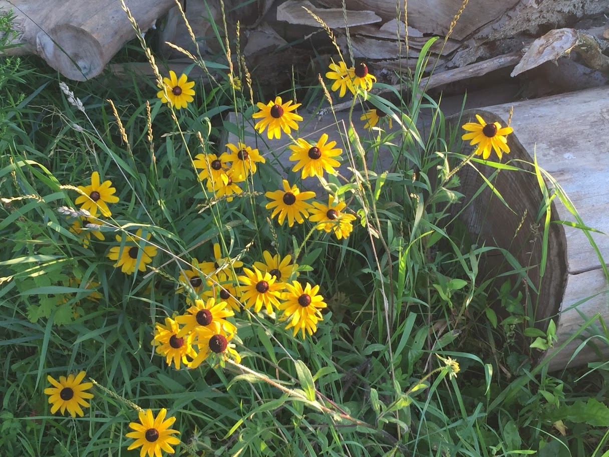 August brown-eyed susans.JPG