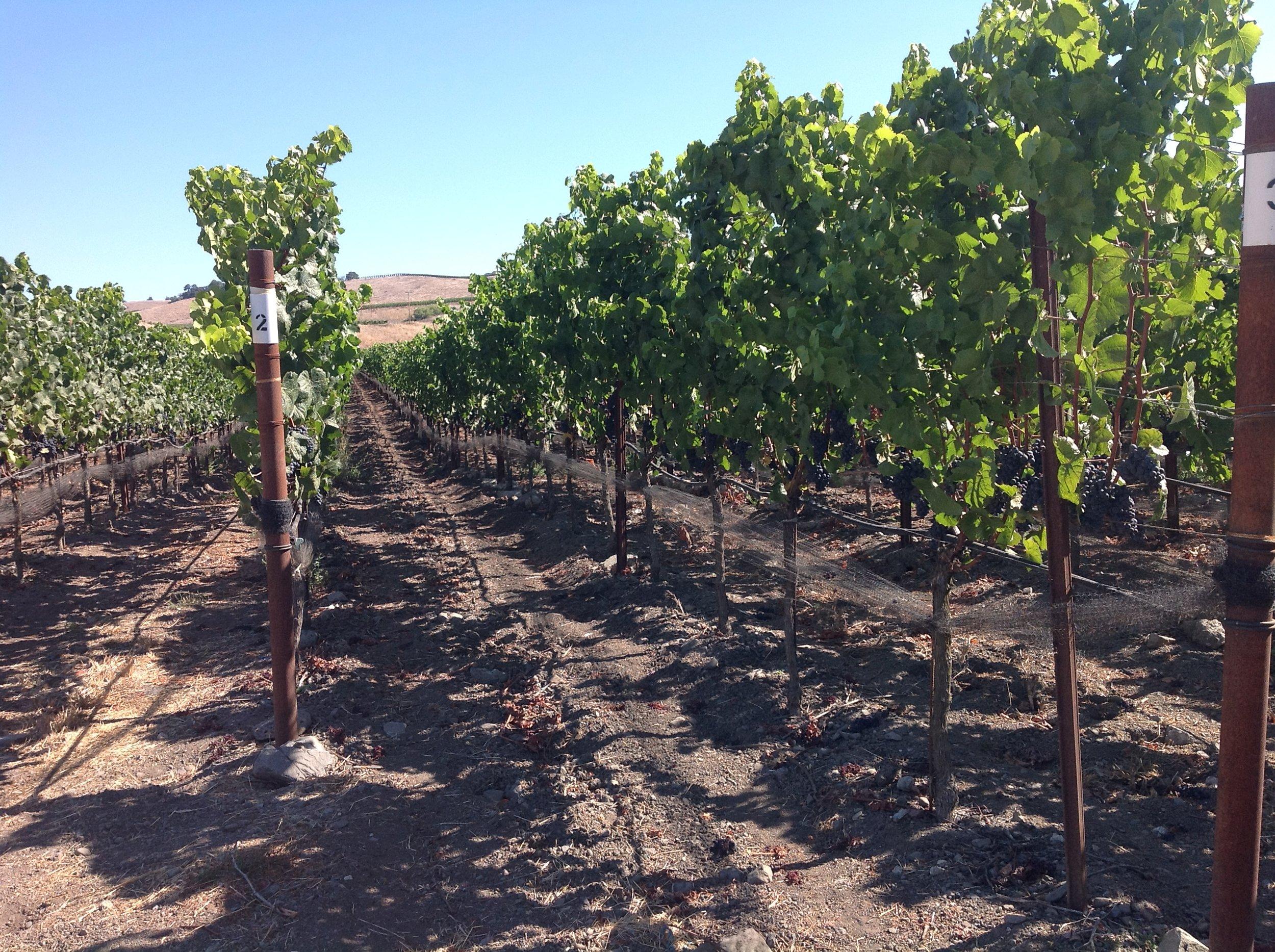 Gaps-vineyard4.jpg