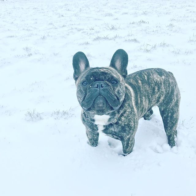 He's undecided on whether  likes the snow as an overall concept. But is loving legging up and down in it. - - #frenchie #london #batpig #lokithefrenchie #snow #blizzard #snowday