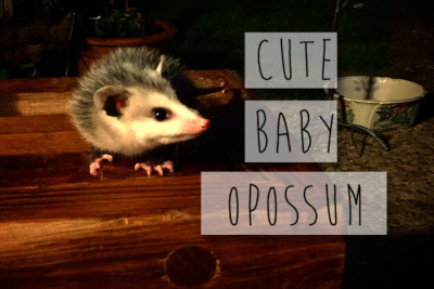 cutebabyopossum-e1431227438409.jpg