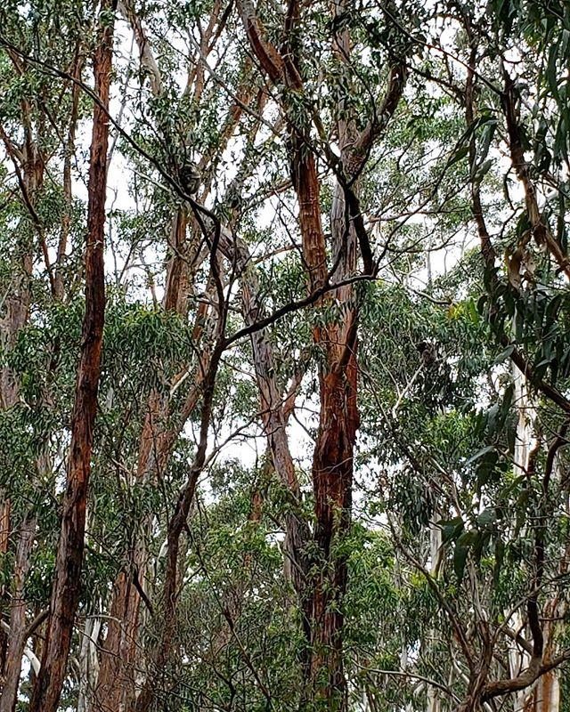 🐨 Spotting wild koalas while driving on Great Ocean Road is pretty common, but you need really good eyes! How many do you see here? #koala #koalas •⠀ •⠀ •⠀ •⠀ •⠀ •⠀ •⠀ #takemetoaustralia #roadtripaustralia #australia_vic #australiagram_vic #australia_oz #digitalnomadlife #postcardfrom #alwaystraveling #alwaysbetraveling #wanderlust_tribe #wanderlusters #travellust #amazingplacestovisit #worldpics #travelpost #travelgoal #iamtb #travelbloggeres #digitalnomads #igpassport #nomadiclife #travelprenuer #locationindependent #adventureseeker #digitalnomadlifestyle