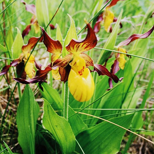 Tons of Yellow Lady's Slippers growing near the lake. It's a beautiful day at Hunters Creek Club.