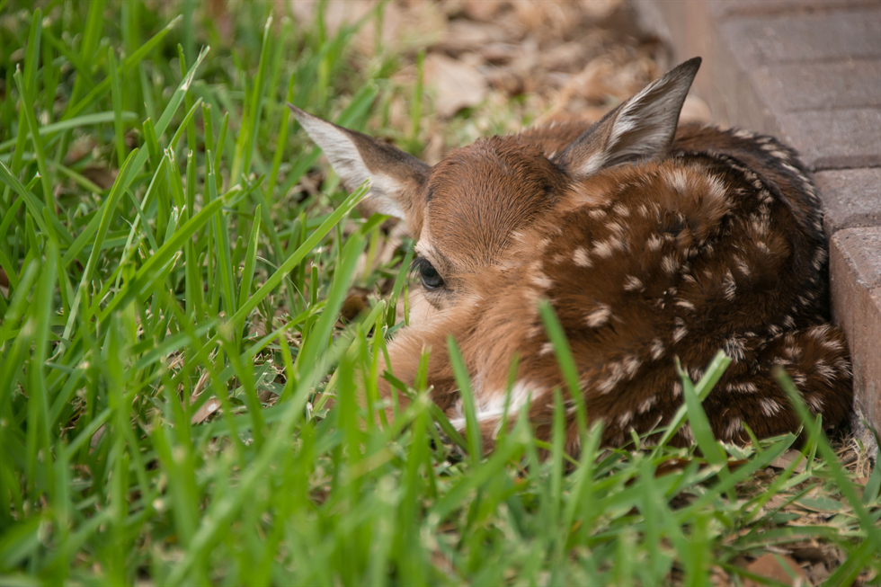 I'm Fine! - Though it looks sick or injured, this fawn is displaying natural behavior while it waits for its mother to return.