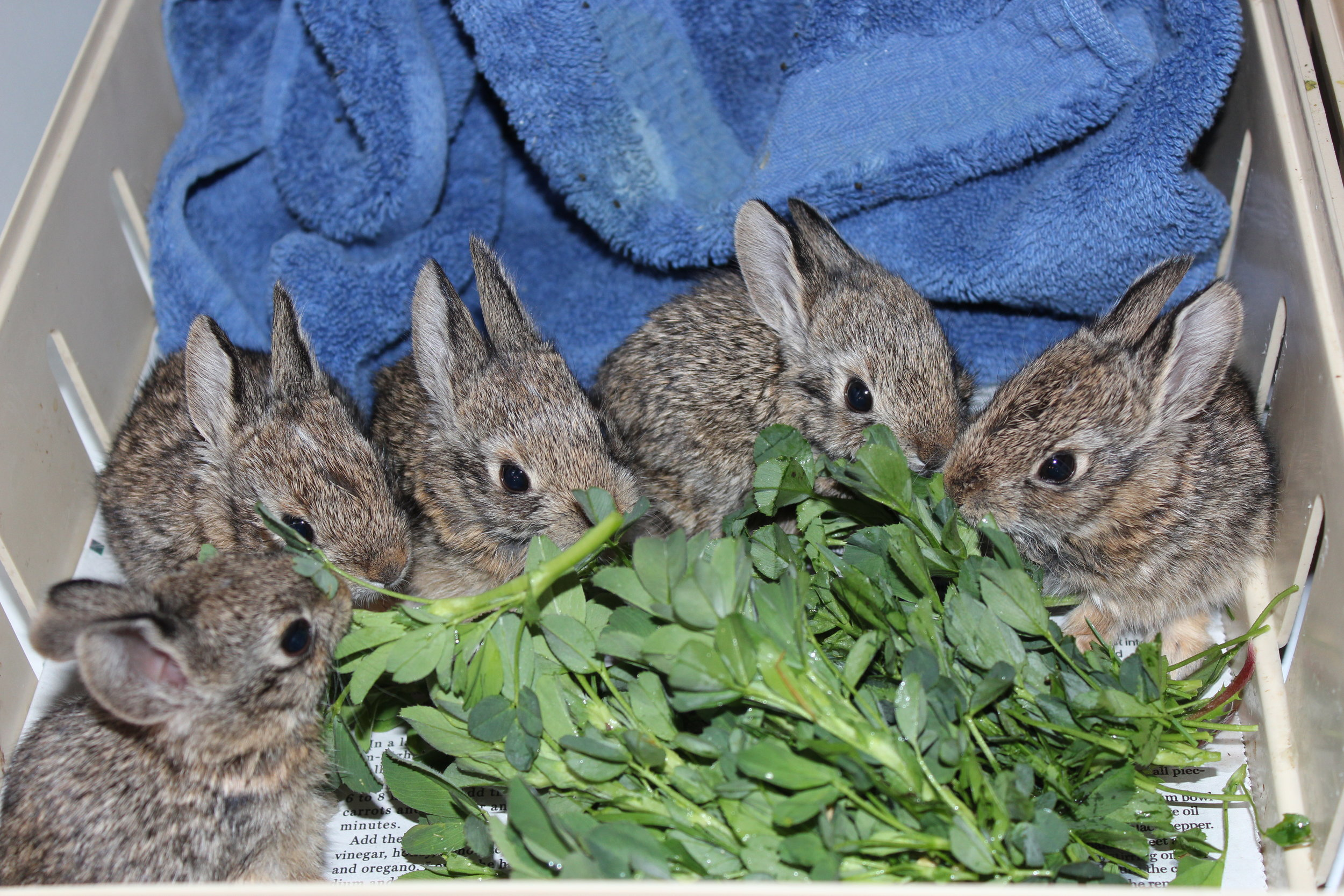 We're Fine! - Though they are still small (about the size of a tennis ball), these baby rabbits are old enough to care for themselves. Their eyes are open, and they have fluffy hair. If found in the wild, it's best to leave them alone!