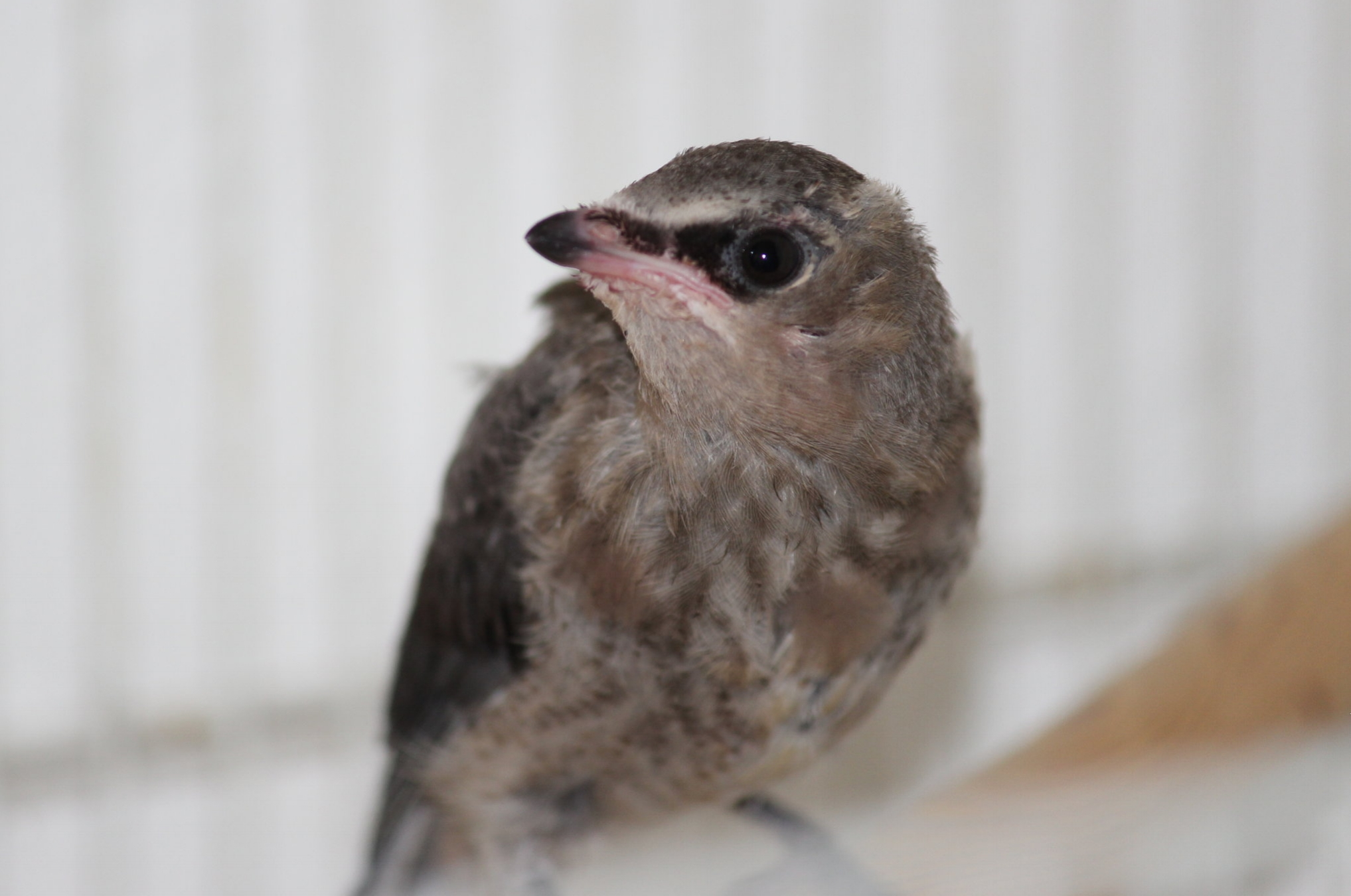 Fledgelings - A fledgling bird, like this Cedar Waxwing, can stand on your finger or a branch and has all or most of its adult feathers. Unless injured, it needs to be left alone so it can learn to fly!