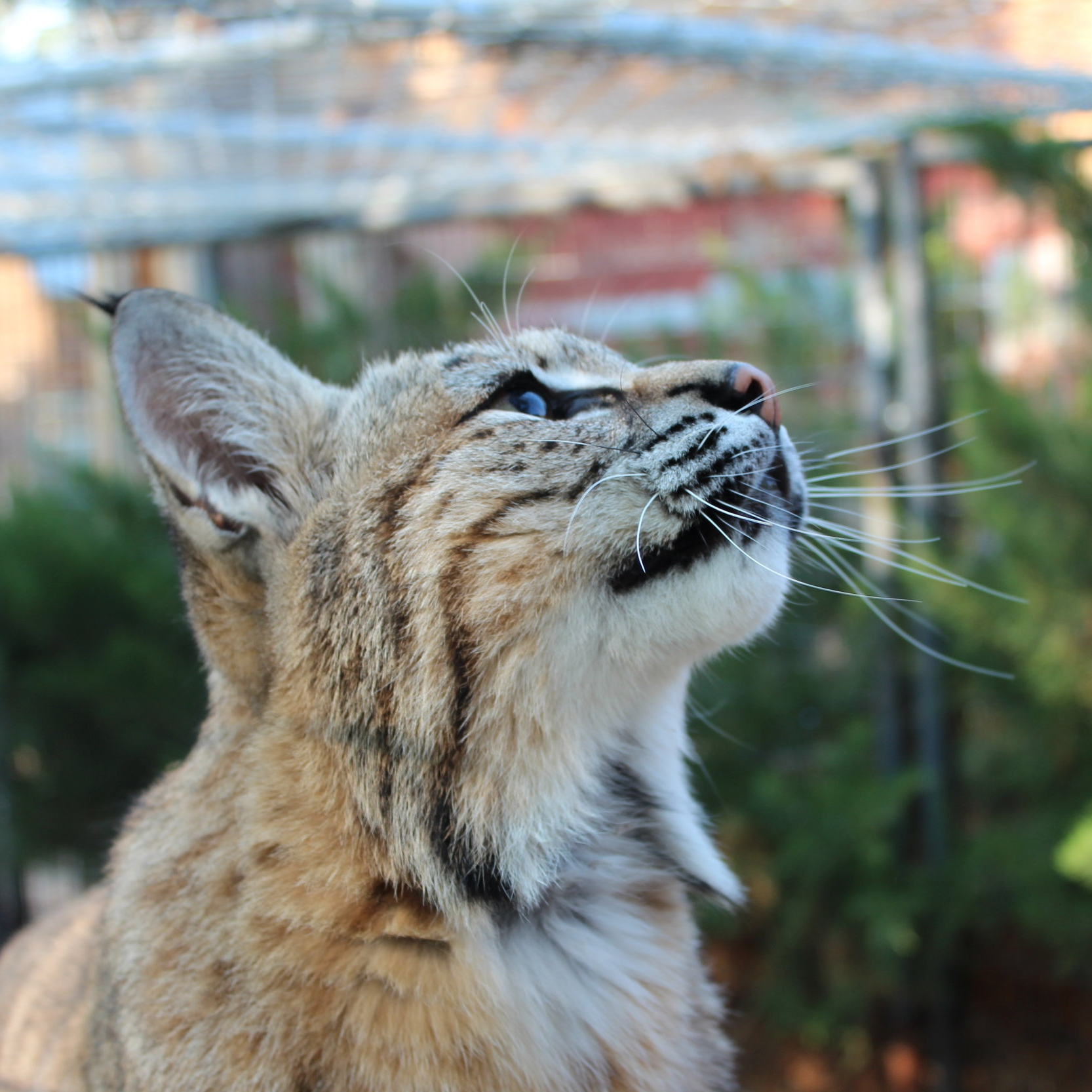 Lolli (Bobcat)