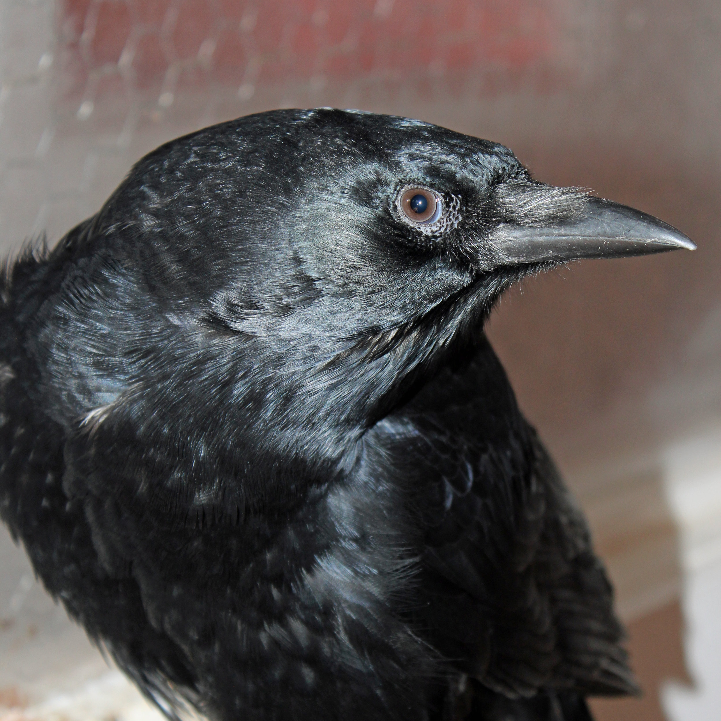 Russell (American Crow)