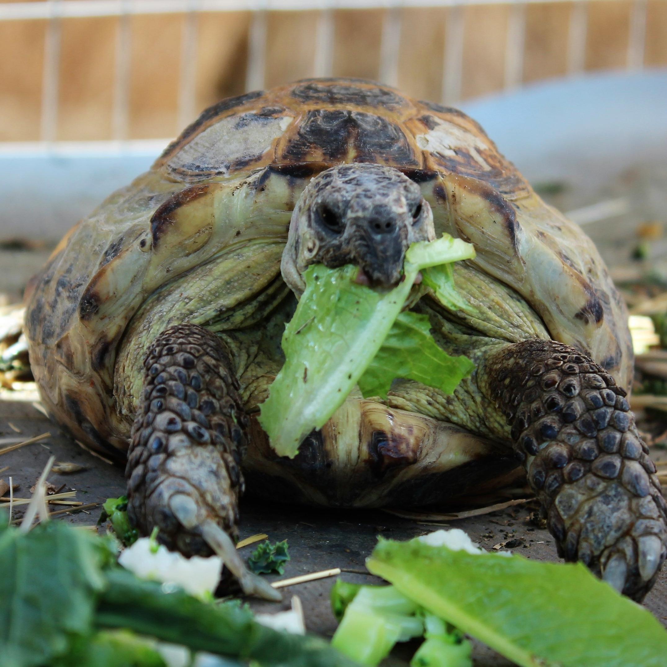 Myrtle (Russian Tortoise)