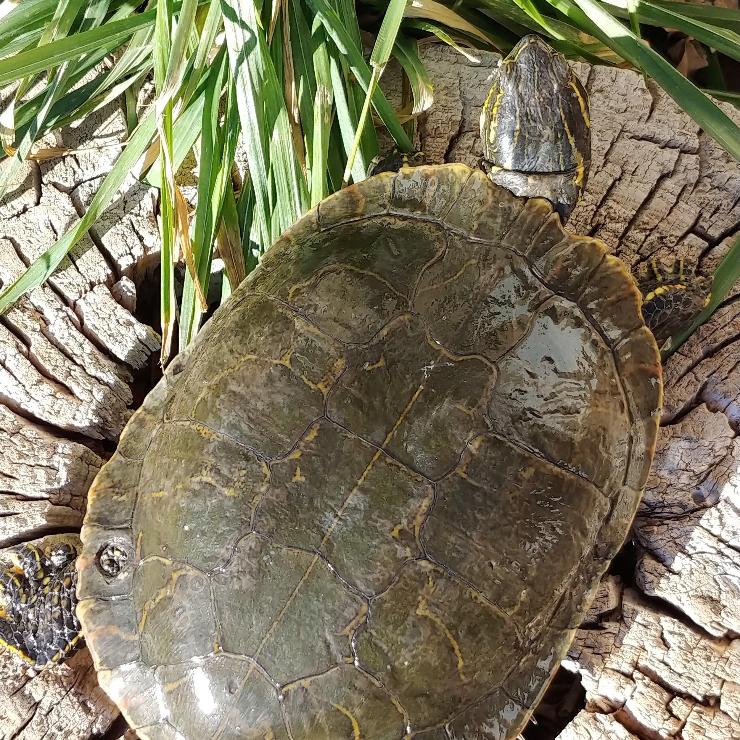 Georgia (Painted Turtle)