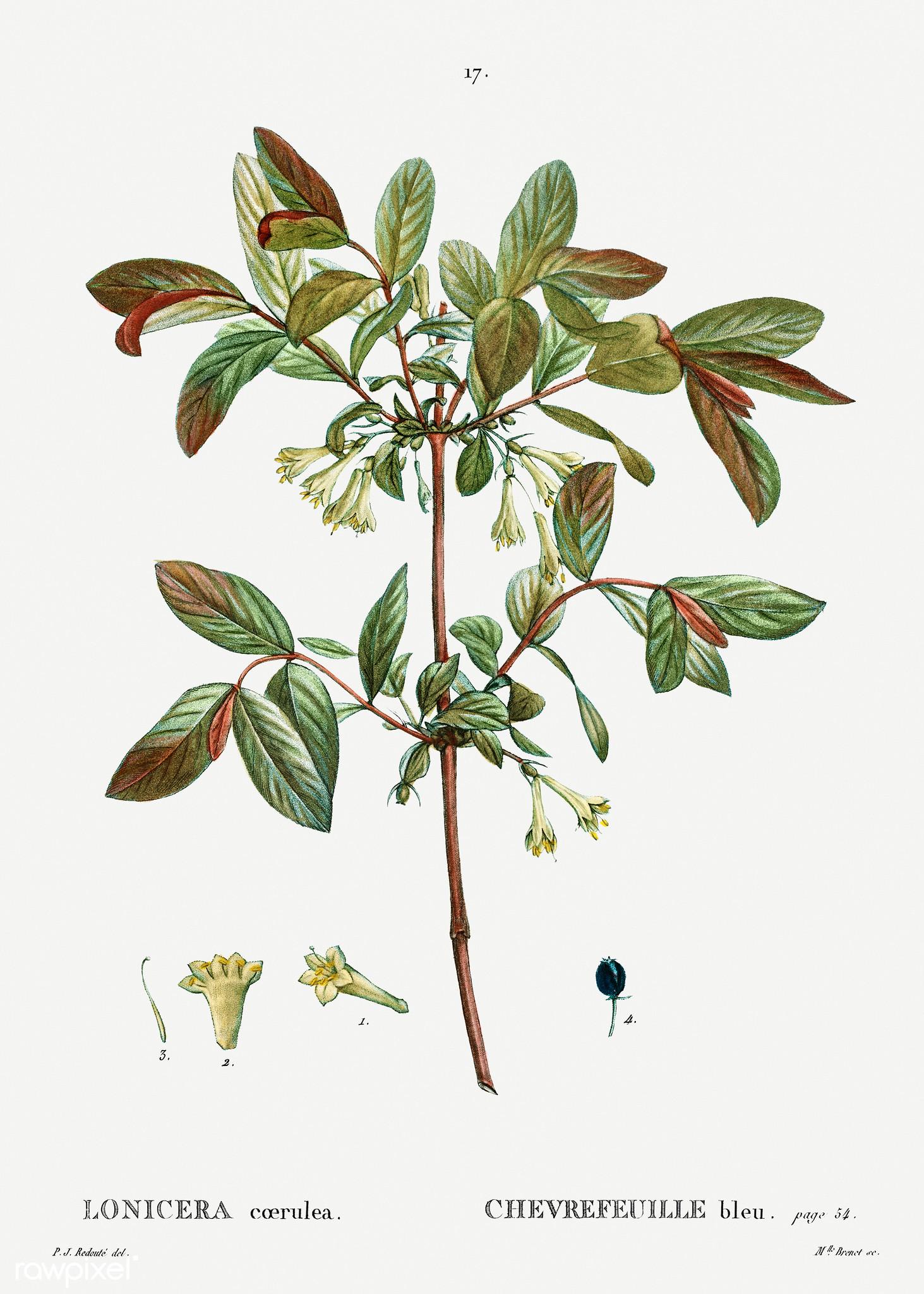 """Image from """"Traité des arbres et arbustes que l'on cultive en France en pleine terre"""" (1801–1819),  https://www.flickr.com/photos/vintage_illustration/46502174104/in/photostream/"""