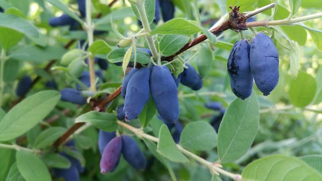 Honeyberry - Lonicera caerulea, the honeyberry, haskap berry, blue-berried honeysuckle, deepblue honeysuckle, or sweetberry honeysuckle
