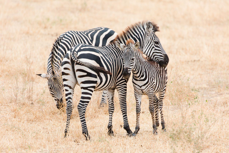 wildlife-photographer-cameron-zegers-tanzania-zebras.jpg
