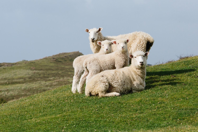 new-zealand-sheep-farm-cameron-zegers-photography.jpg