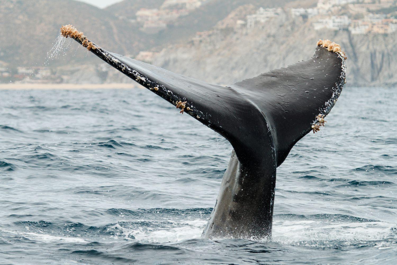 mexico-baja-humpback-whale-cameron-zegers-photographer.jpg
