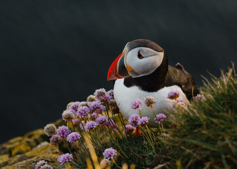 cameron-zegers-travel-photographer-seattle-iceland-wildlife-puffin.jpg