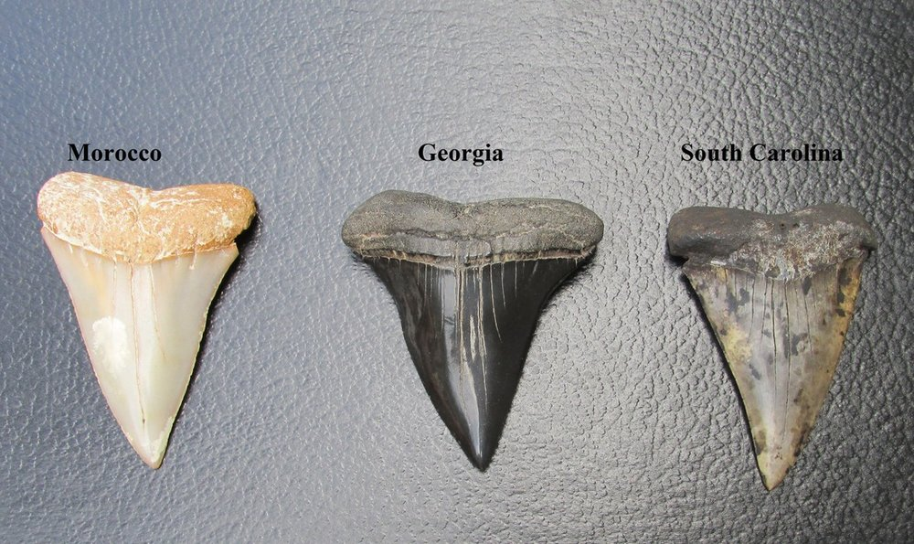 Tooth value megalodon Classic Bone
