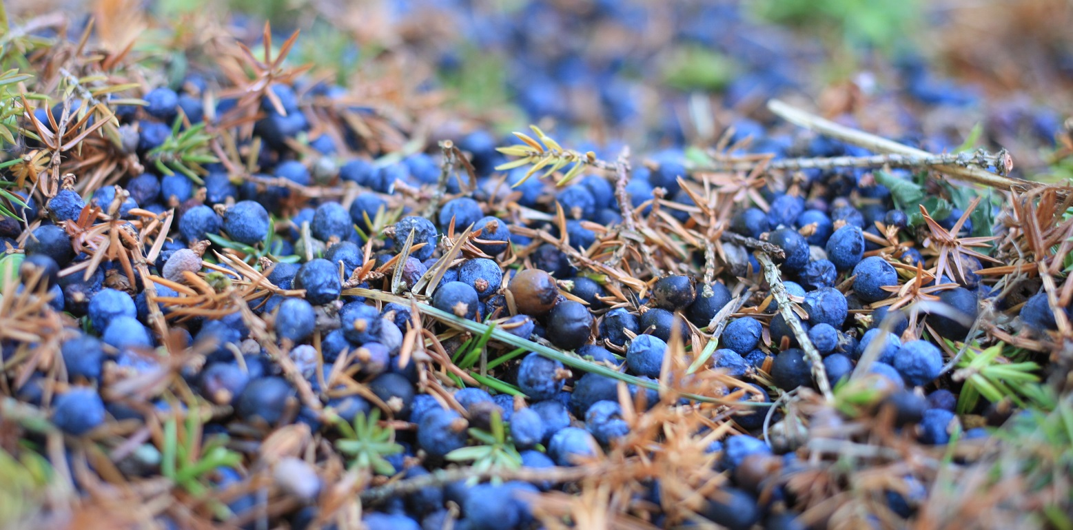 Juniper berries of Saaremaa