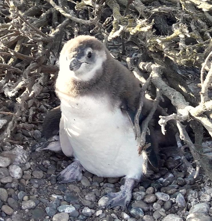 bebe pingouins patagonia.jpg