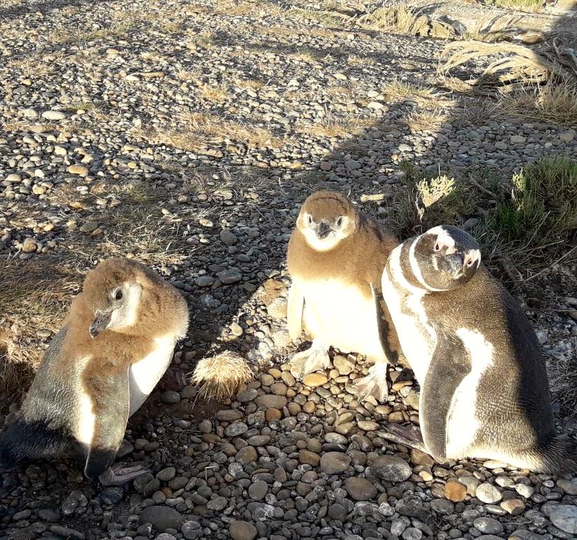 pinguinitos patagonia enero.jpg