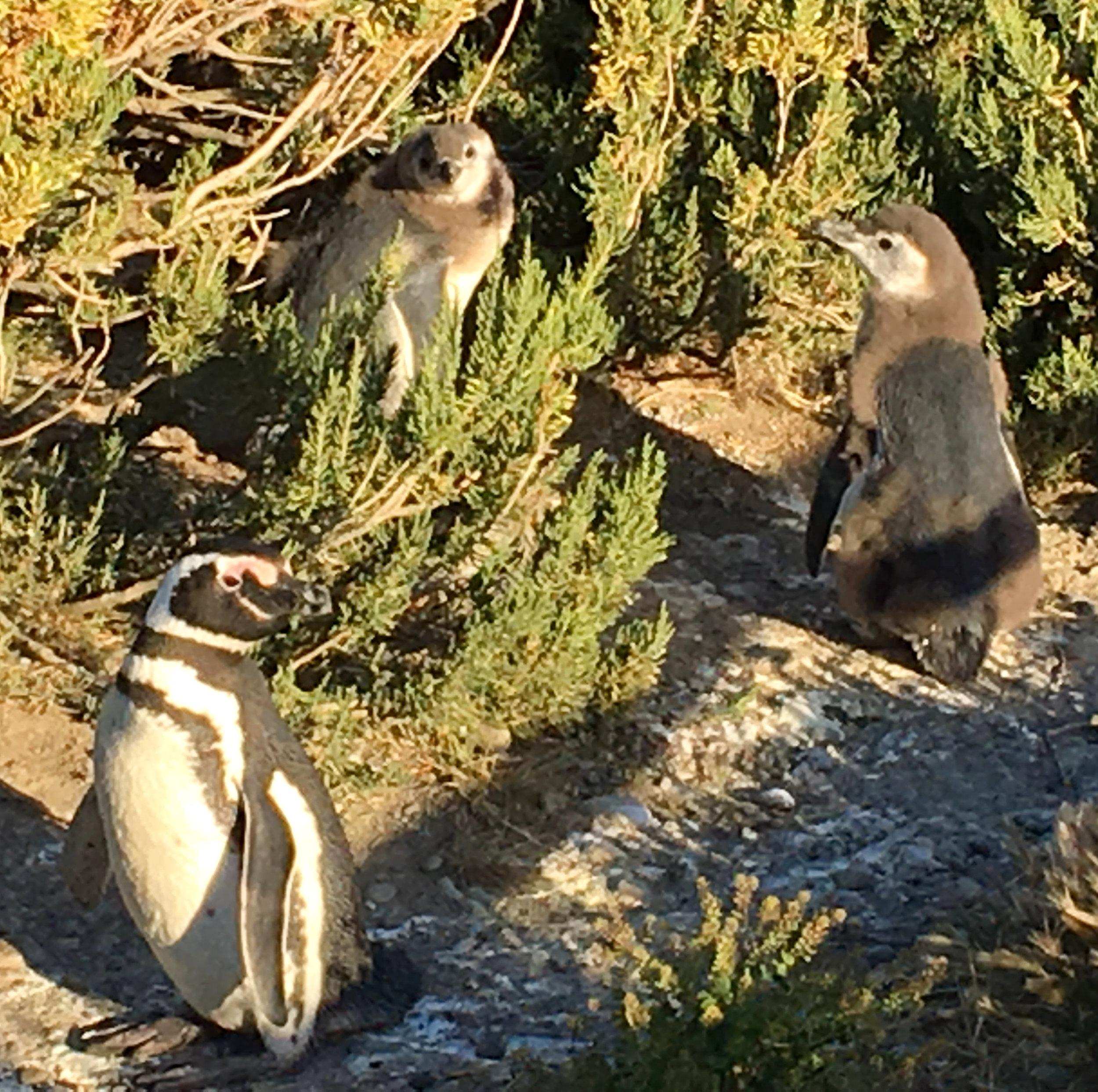 pingouins patagonie naissances.jpg