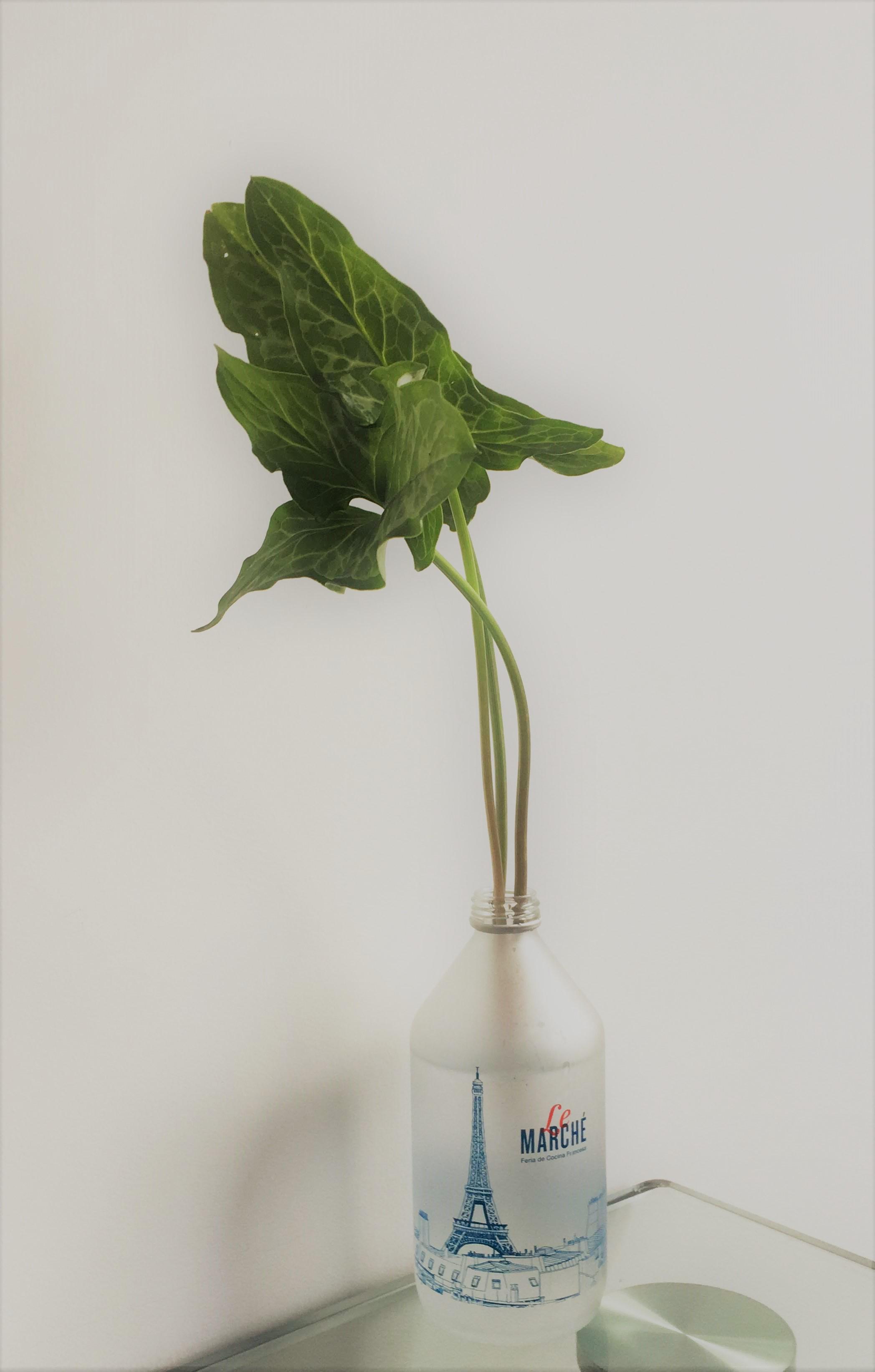 acuatica planta.jpg