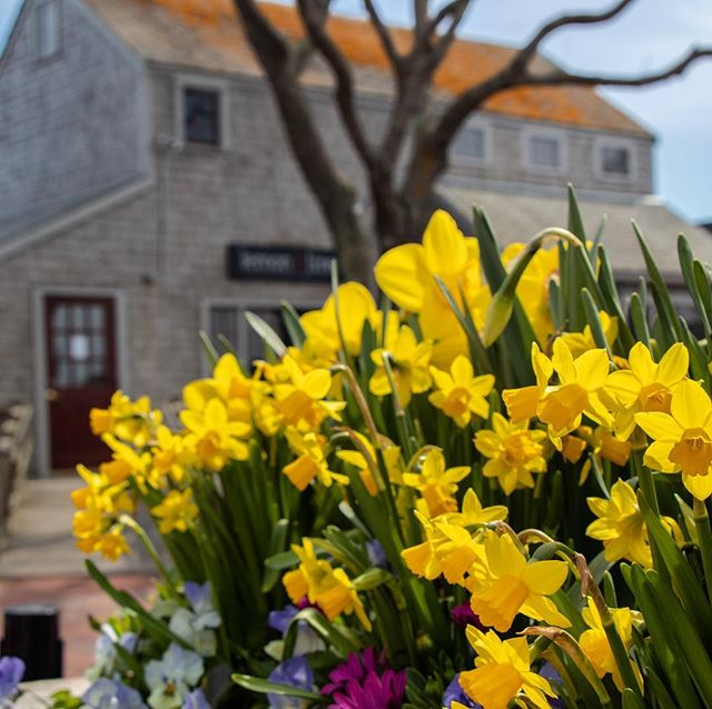 Might've missed #ackdaffy by a couple of days, but the #daffodils on #nantucket were still out in full force this week!