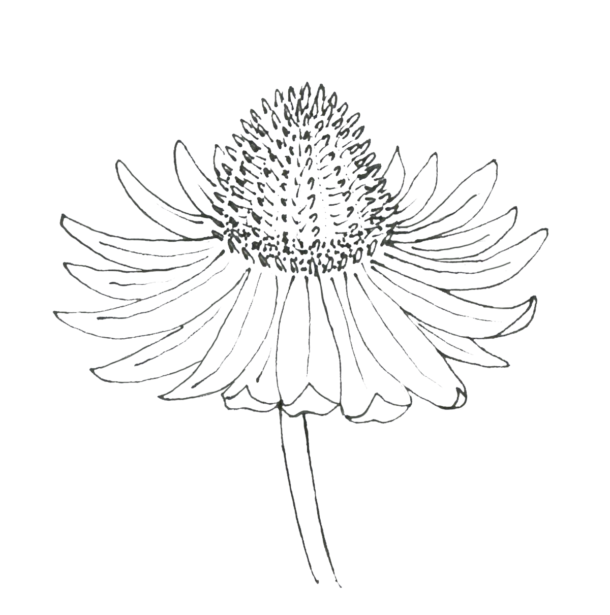 Echinacea Drawing.png