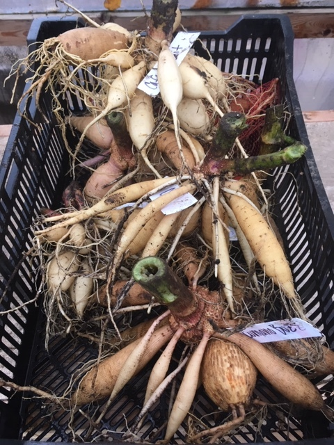Make sure you label your tubers so you know what you're getting next year. Place them somewhere to dry for a 2-3 days. Mine are in my hoophouse, gently stacked in a bulb crate (I also hang mine). If drying in an out building or outside, don't let them freeze.