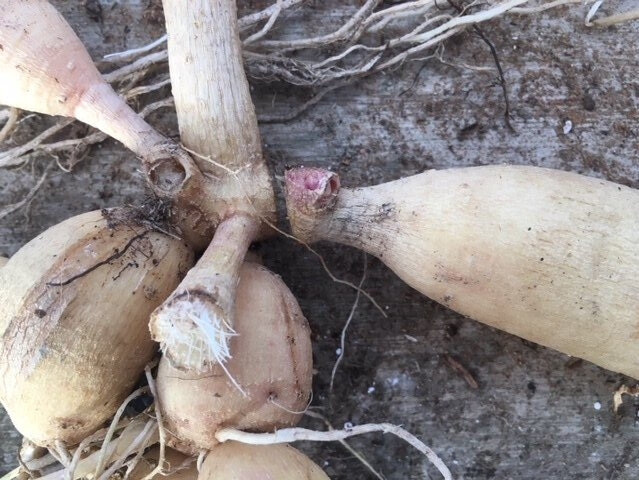 This picture is showing the proper cut to give you the three key components: 1) tuber body, 2) intact neck and 3) eye.  Once my tubers are cut I dip the cut end in cinnamon (an anti-fungal to ward off mold and rot) and lightly sprinkle in cinnamon.