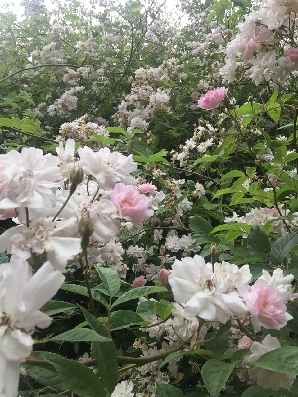 Paul's Himalayan Musk - A rose that loves climbing and easy to grow. Just point it at a tree and off it goes.