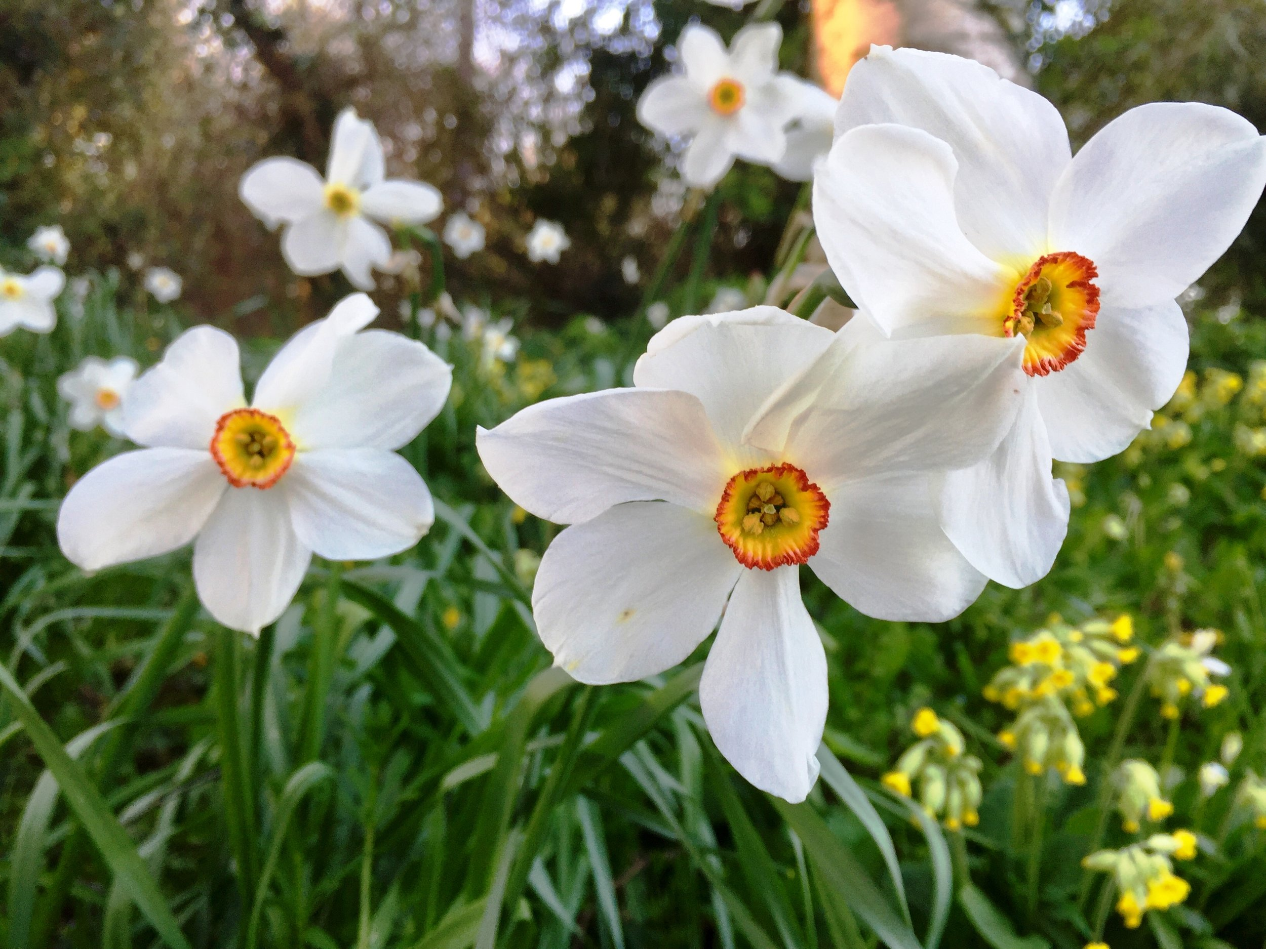 The Neglected Garden - Narcissus poeticus 'Old Pheasant's Eye'.jpg