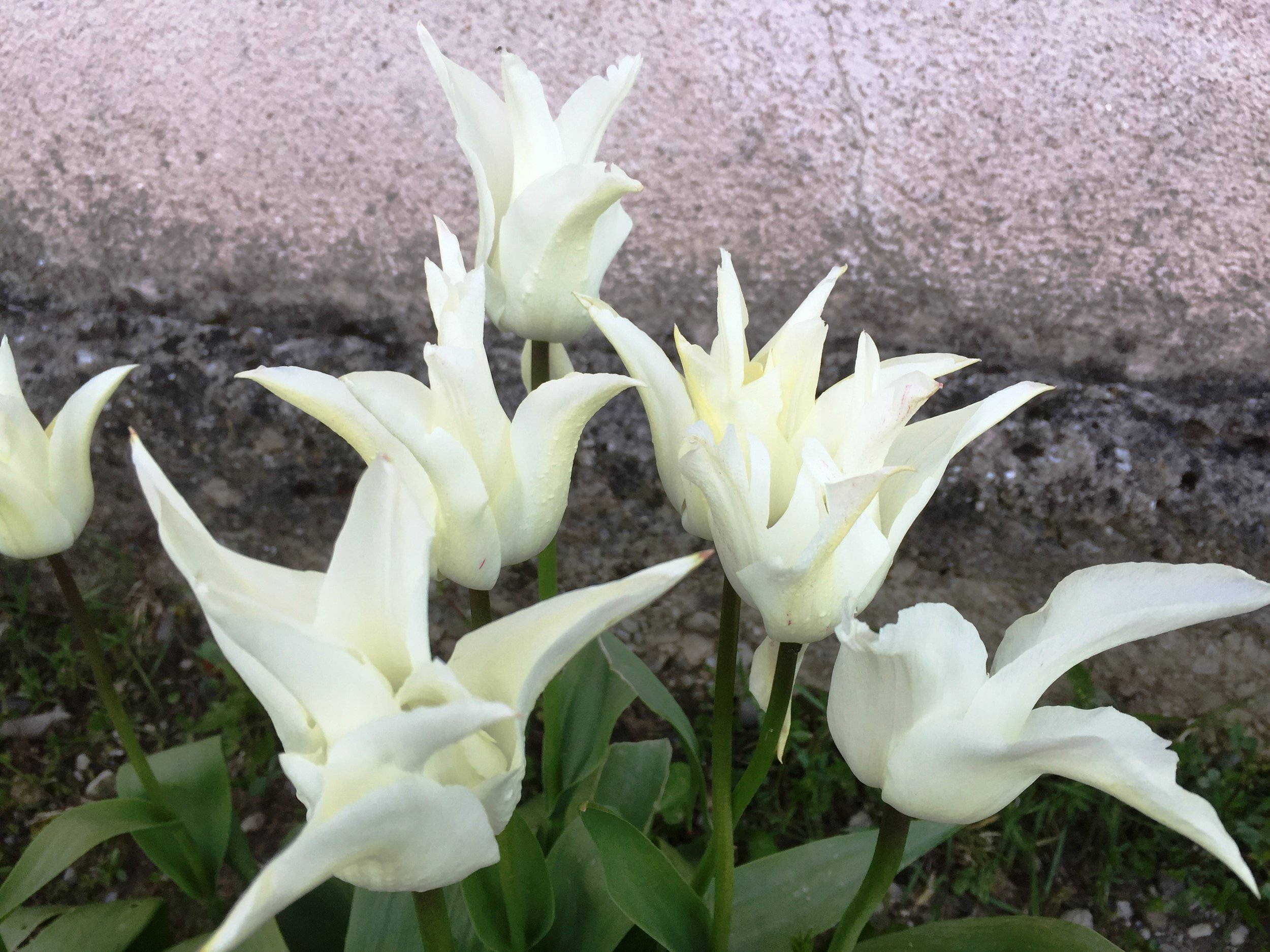 The Neglected Garden - White tulips.jpg