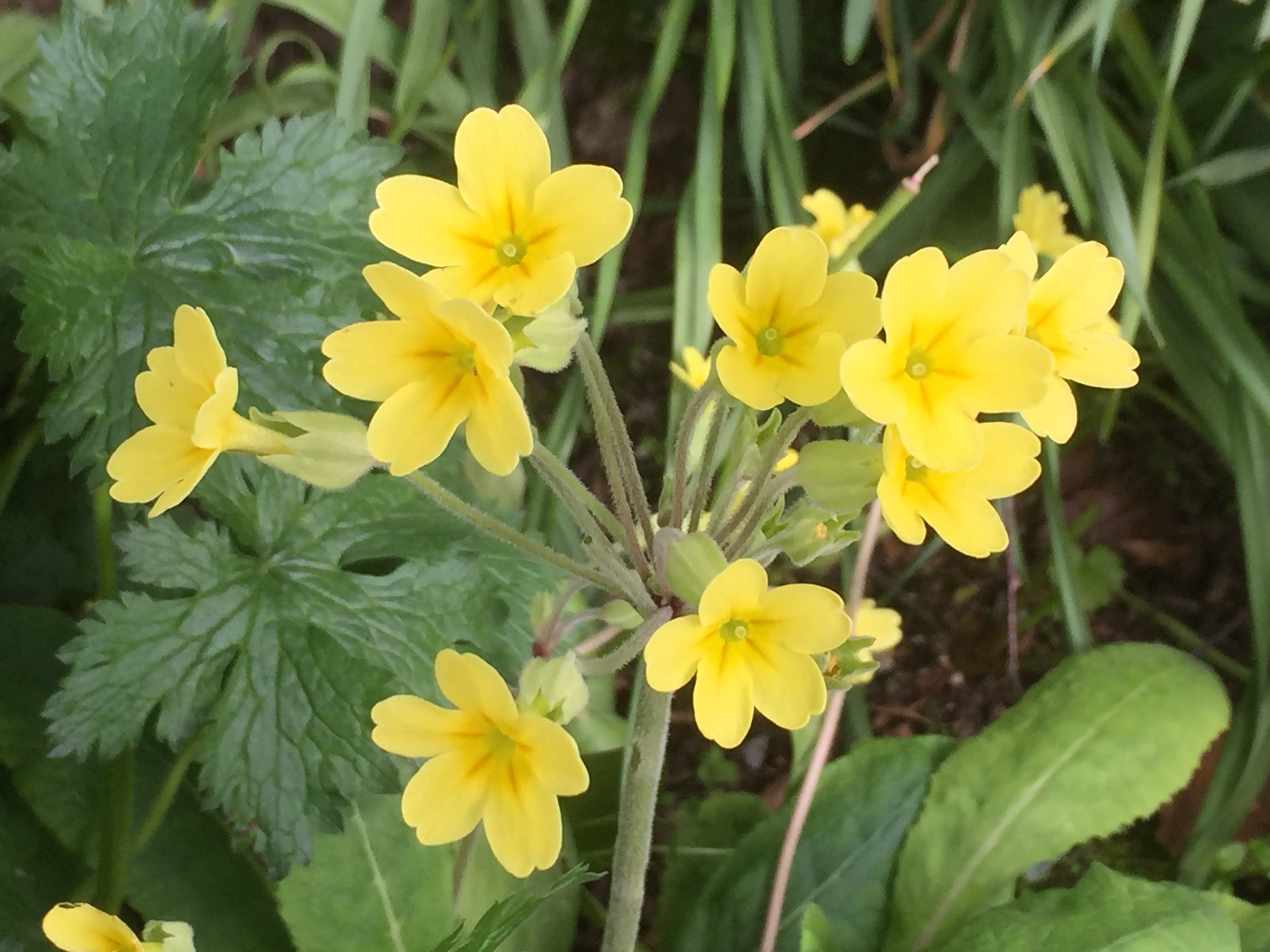 An oxlip is a hybrid of a primrose and a cowslip and it is quite rare where we live