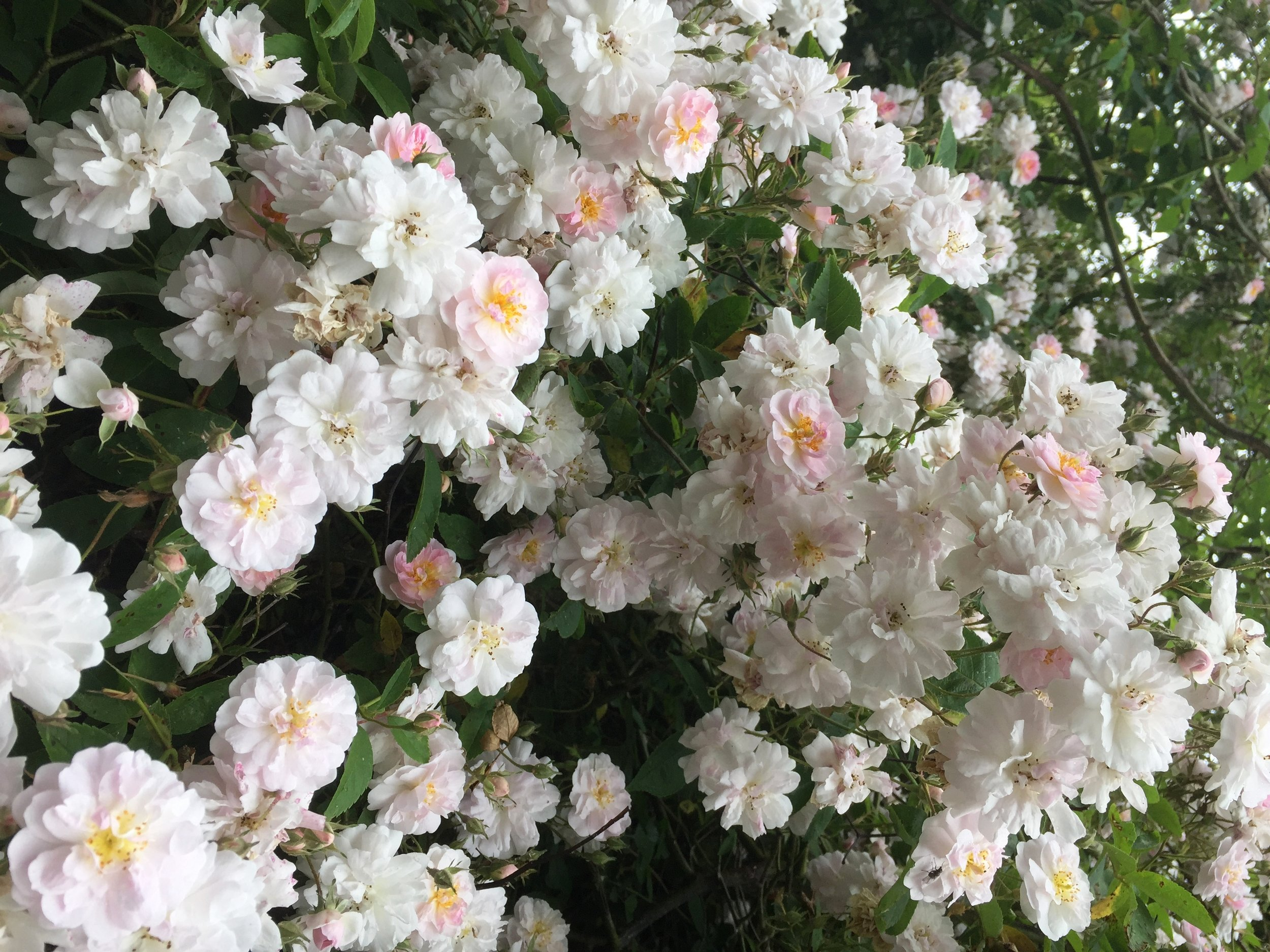 This is a rambler rose called Paul's Himalayan Musk and it's six or seven metres high. It needs a tree or a hedge to scramble up. I just leave it alone and off it goes. No need to prune if you have the space.