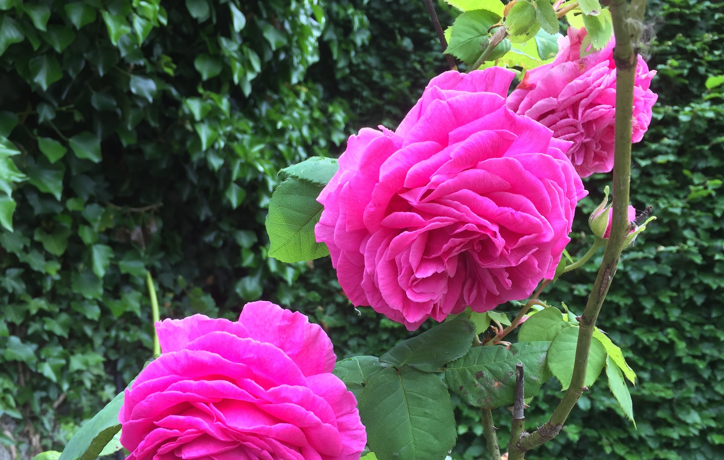 Madame Isaac Pereire is a Bourbon rose and was named after a French banker's wife in the late 19th century. I keep this one in a large container by a garden bench where I can sit and appreciate its huge, deep pink blooms and divine scent.