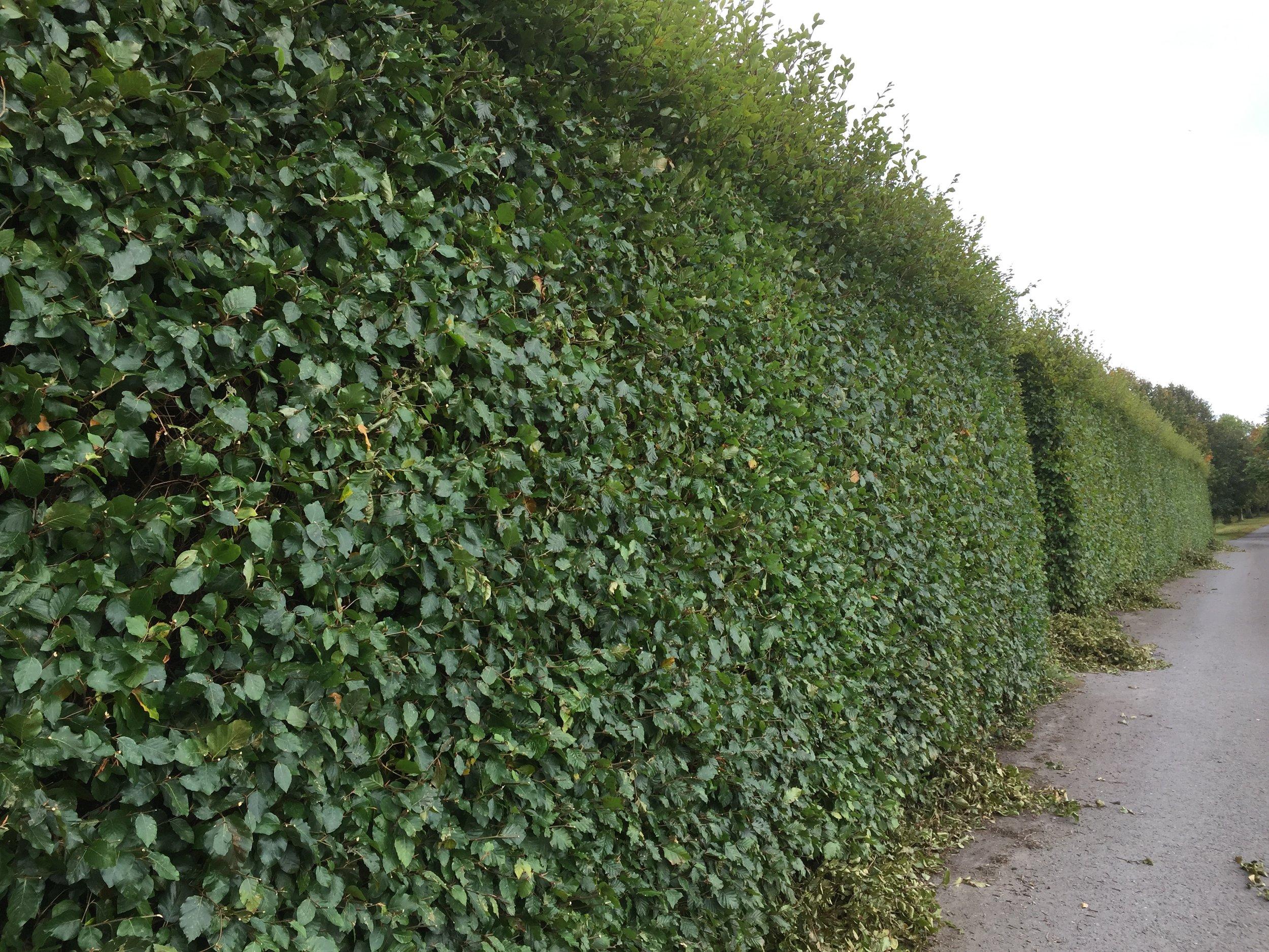 A beech hedge (Fagus sylvatica) is being trimmed but is still green.