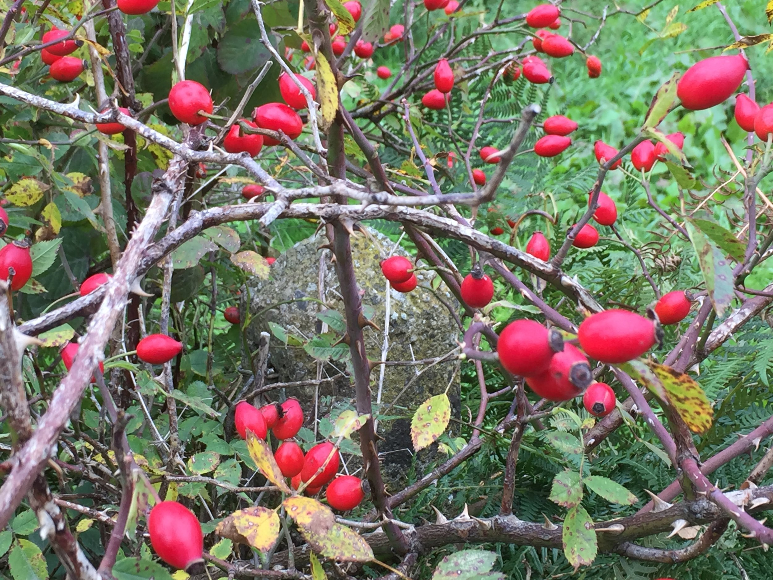 Vivid orange-red rose hips in hedgerows after a long warm summer. Rose hip syrup is supposed to be a good source of Vitamin C and was made in Victorian times.