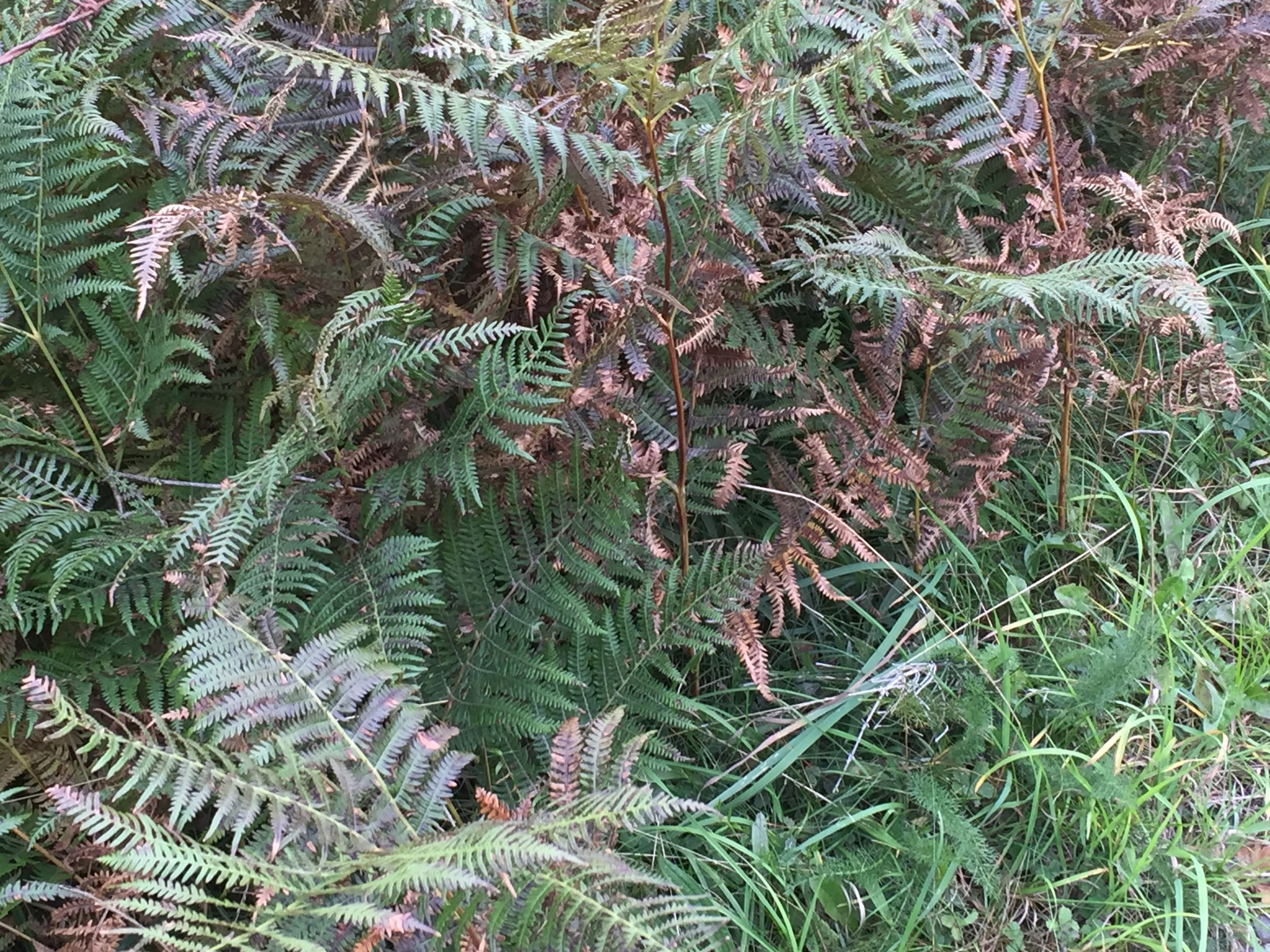 Bracken along the edges of lanes is beginning to turn brown and die off in late September.