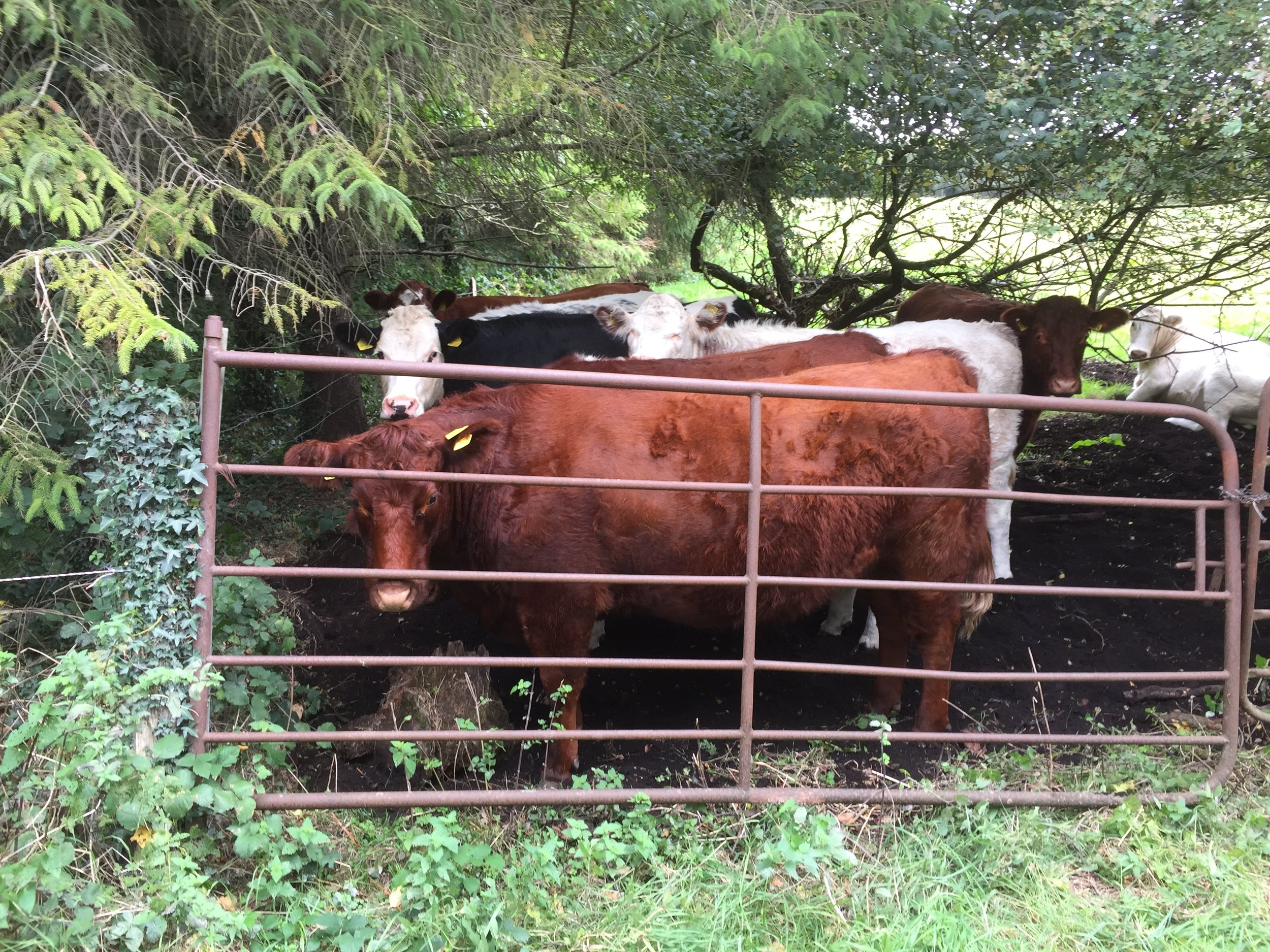 Cattle are still out in the fields. When the weather becomes wetter and colder, they will probably be brought into sheds for the winter. Or they will be moved to dryer ground and fed out in the fields when the grass dies back.