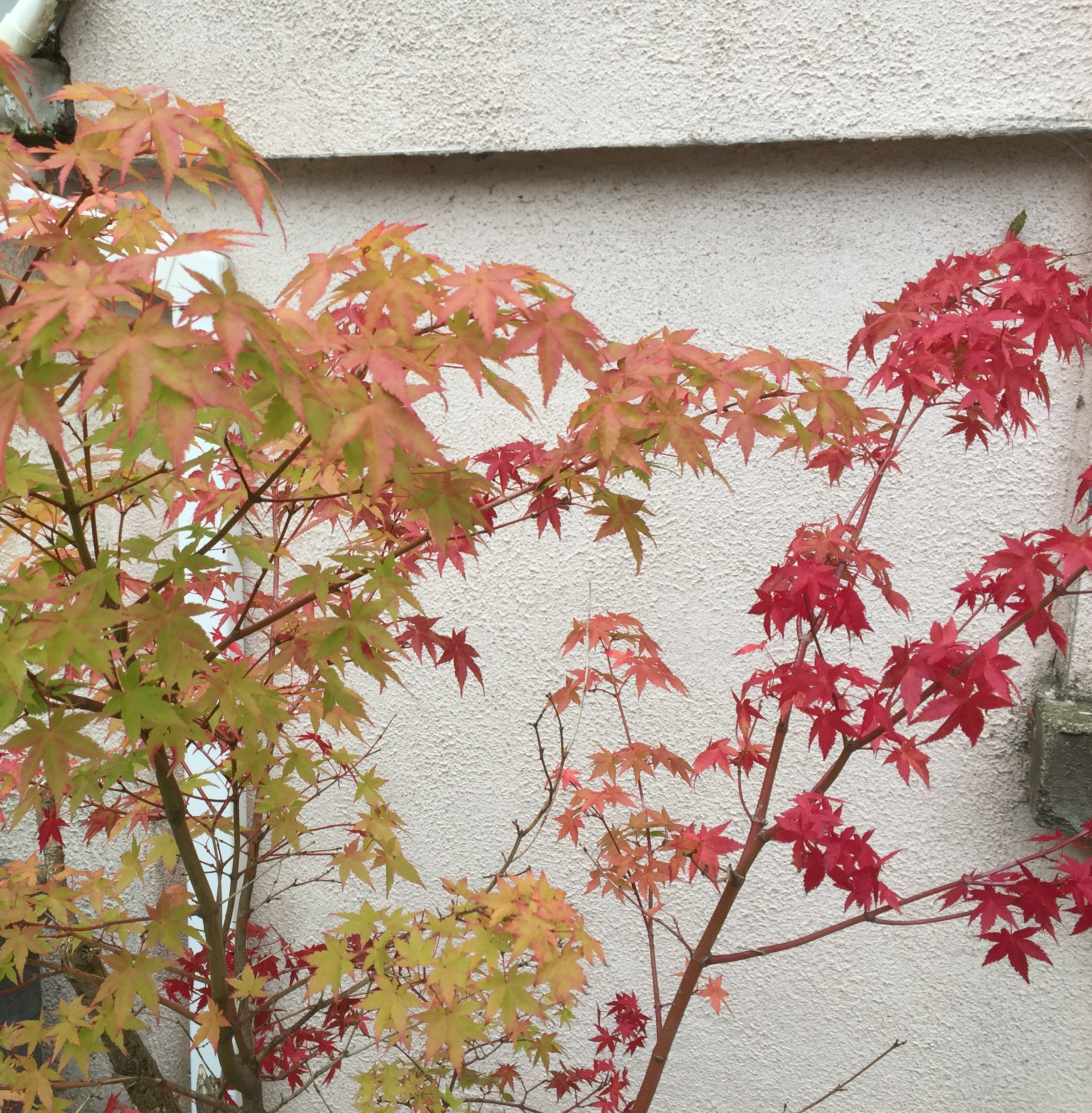 In the garden, Japanese maple leaves turn to red and orange in late September. They will fall off completely in winter.