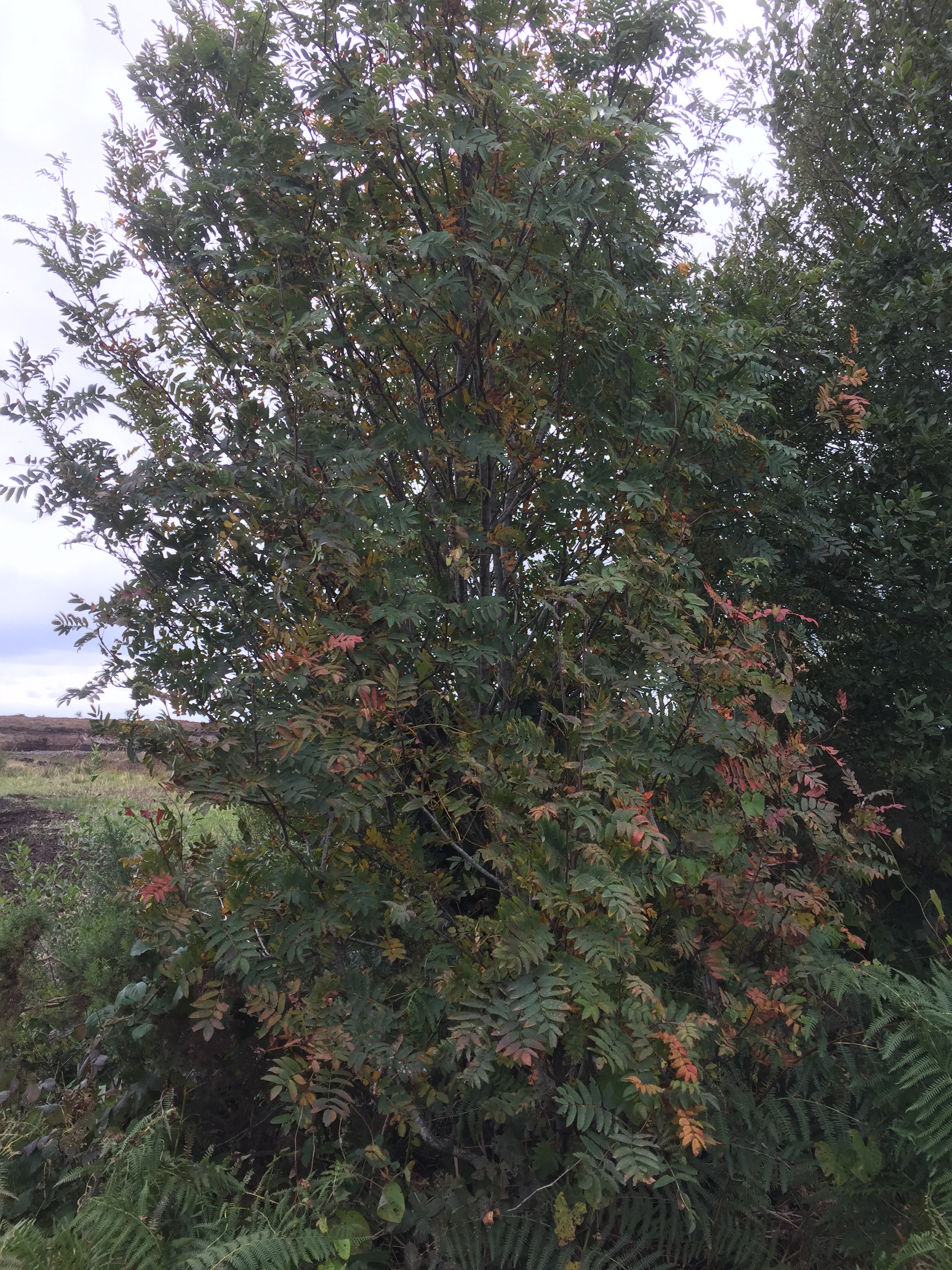 Rowan trees beginning to turn orange. These trees are considered useful in folklore for keeping witches away from our homes. Every garden should have one!