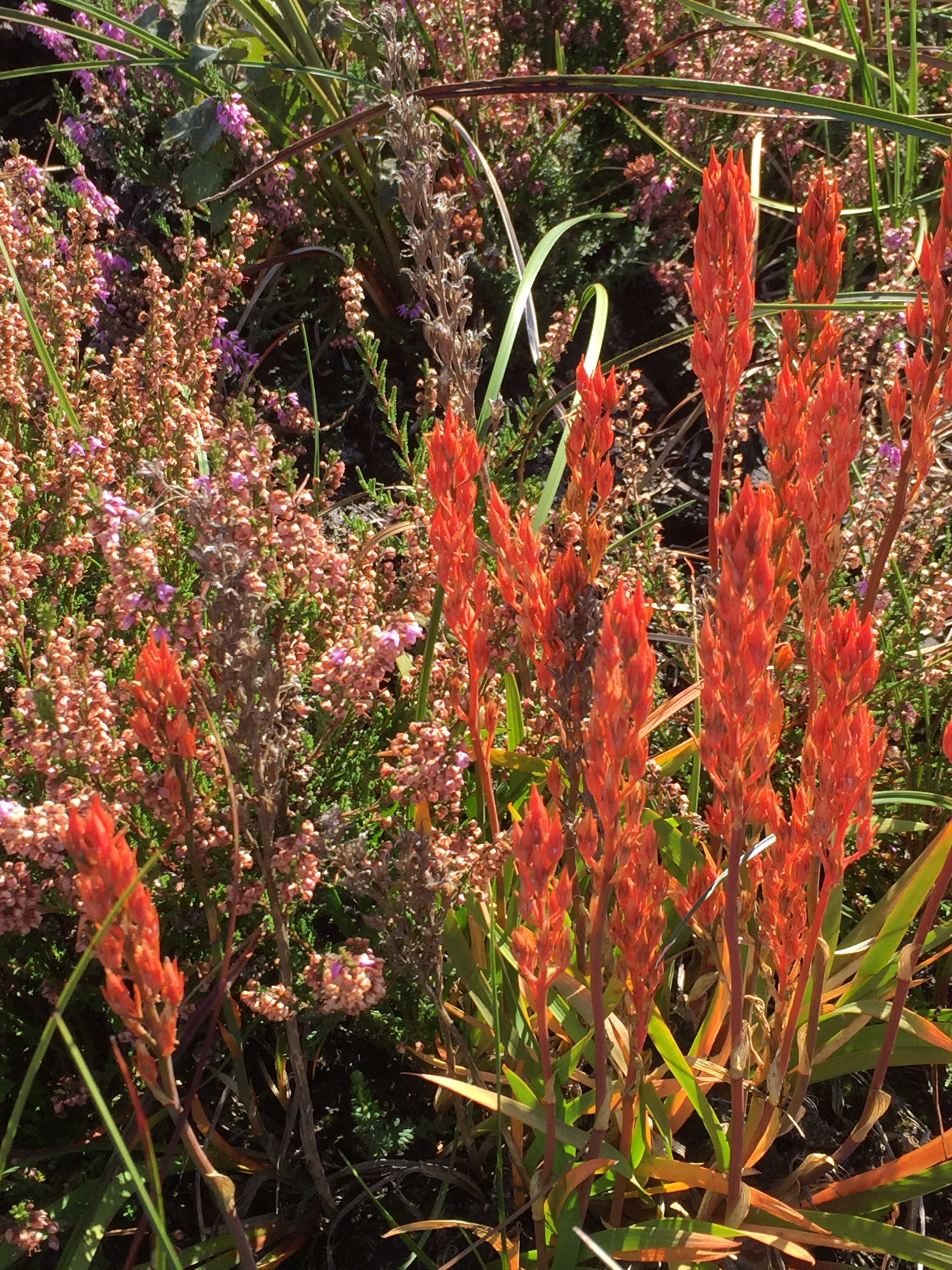 Yellow Bog Asphodel with striking autumn colour in early September